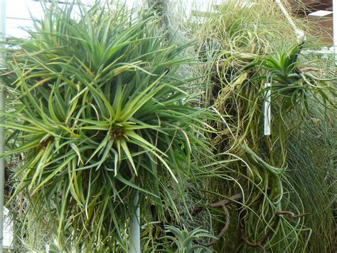 air plants air plants tillandsia the palm room