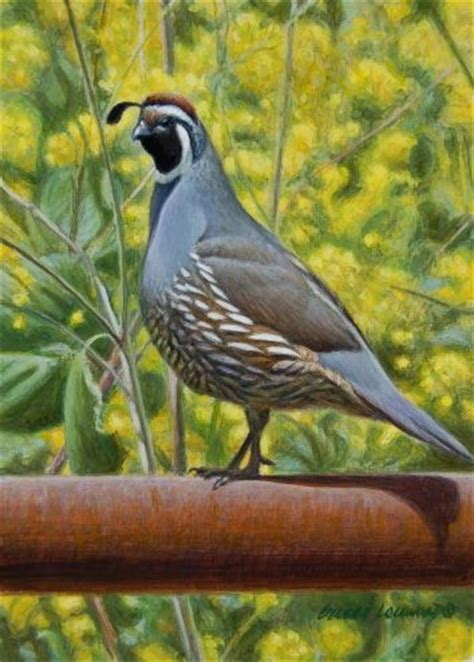 paint color quail 51 best images about gambel quail and desert birds on