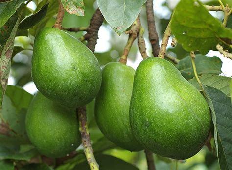 avocado tree not fruiting taiwan agricultural research institute council of