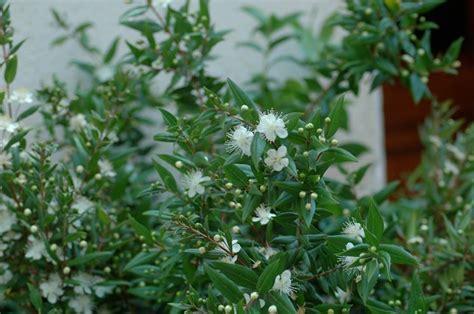 pianta di mirto in vaso mirto pianta piante da frutto coltivazione mirto