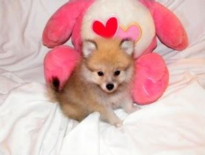 affordable teacup pomeranian puppies pets free classified ads