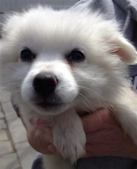 rescue me dogs puppies and dogs pictures american eskimo reviews and models picture