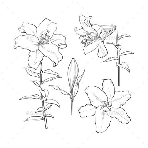 how to draw hands by lily draws on deviantart set of hand drawn white lily flowers by sabelskaya
