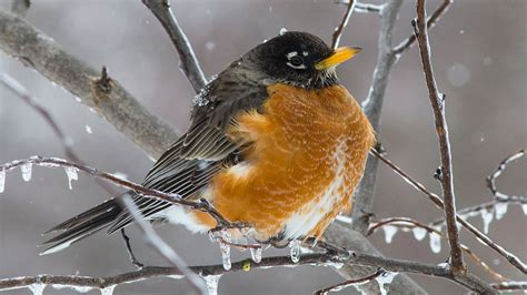 is it unusual to see american robins in the middle of