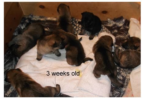 3 week german shepherd puppies puppies 3 weeks