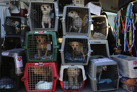 kill shelters from california kill shelter to adoption for 1 000 dogs the seattle times