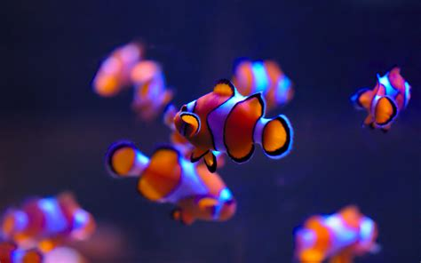 wallpaper clownfish sea life aquarium deep blue