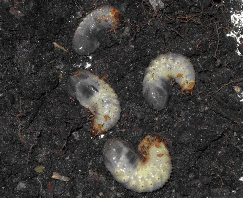 top 28 garden grubs milky spore disease how to apply milky spore in i am looking for