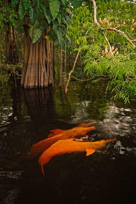 amazon river dolphin  pics