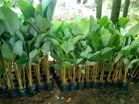 pohon pisang kalatea heliconia calatea pohon pisang