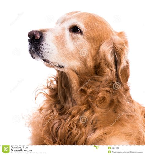 your purebred puppy golden retriever purebred golden retriever stock photo image 41241979