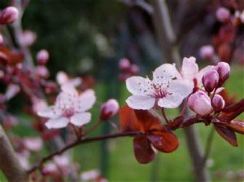 fiori di pruno fiori di pruno scaricare foto gratis