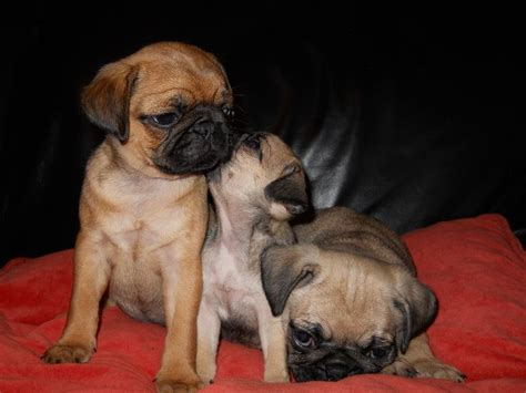 apricot colored pug 17 best images about silver apricot pug puppies on a website brindle