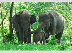 38 Gajah Sumatera Tewas di Kawasan HTI Lelang