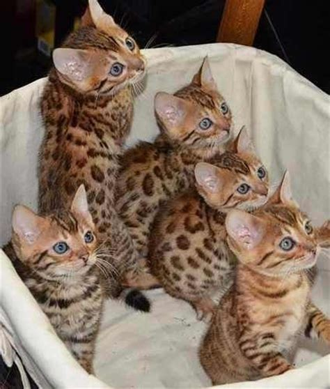 imagenes surrealistas de gatos bengal o gato mais lindo do mundo fotos com filhotes o