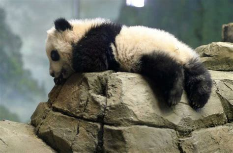 Humidifier Belli To Baby Panda these pictures of baby pandas will make your ovaries ache san antonio express news