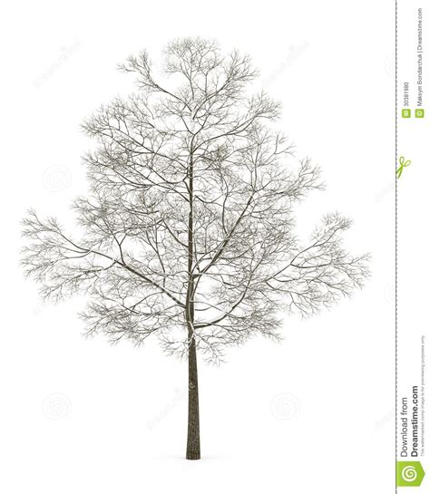winter white tree winter fall maple tree isolated on white stock