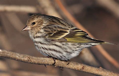 pine siskins arriving in good numbers at ottawa area feeders