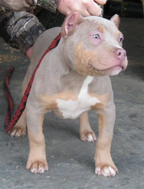 purple tri color pitbulls top blue fawn pitbull images for tattoos