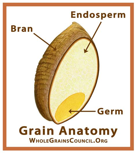 whole grain kernel image gallery wheat kernel