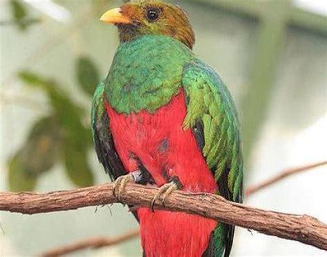 picture 1 of 10 quetzal (pharomachrus, euptilotis