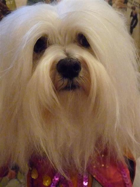 havanese maltese breeders 206 best i maltese dogs images on