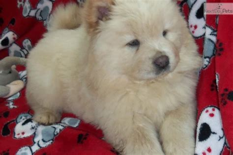 chow chow puppies for sale in michigan chow chow puppies for sale breeds picture