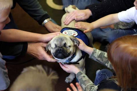 blindness in pugs blind pug works as therapy in oregon orvis news