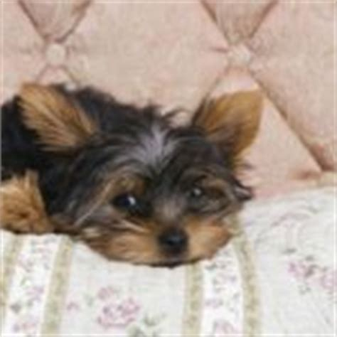 span for yorkies expectancy for a terrier 1001doggy