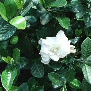 Gardenia Jasminoides Veitchii Gardenia Jasminoides Veitchii G Augusta