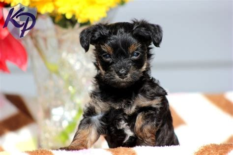teacup yorkie poo puppies for sale in illinois 115 best images about yorkie mix puppies for sale on