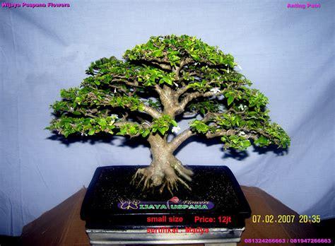 Anting Sale 2 bonsai tanaman hias indramayu cirebon kuningan majalengka