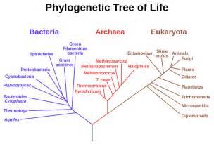 Filephylogenetic Tree Svg » Home Design 2017