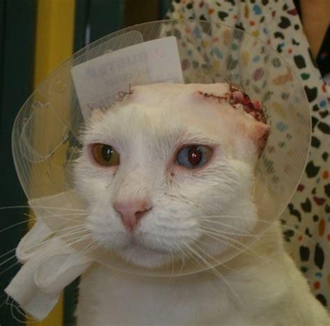 ear hematoma home treatment cat ear hematoma home treatment 2018 cats