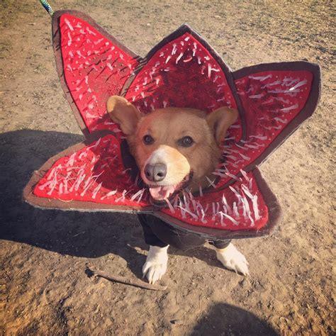 demo dogs things my dressed up corgi introducing the democorgon things pics