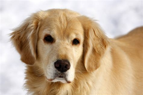 why were golden retrievers bred and owner reunion alabama radio