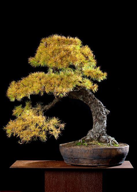 bonsaibaum  bonsai werkstatt