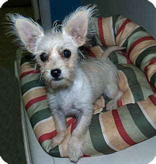 yorkie puppies for adoption in louisiana alexandria la chihuahua yorkie terrier mix meet princess dianna a puppy