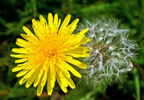dandelion facts what you don t know about dandelions blog nurserylive
