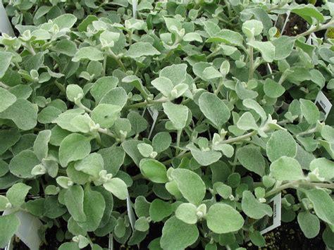 online plant guide helichrysum petiolare licorice plant