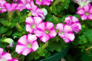 petunias by the gardening blog
