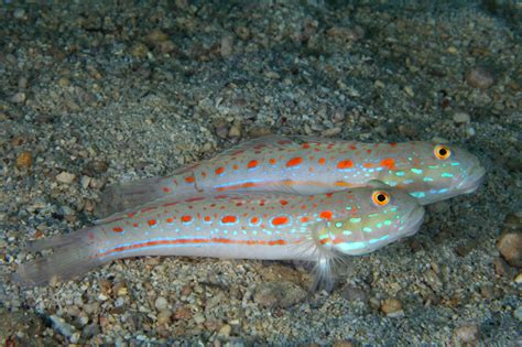 unknown mauritius valenciennea sleeper goby spotted at