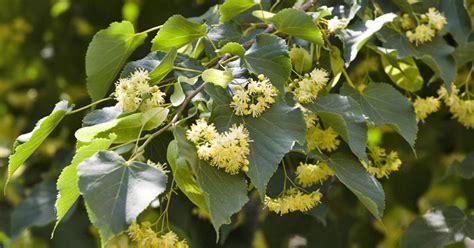 Linde Garten Pflanzen linden lindenbaum pflanzen und pflegen mein sch 246 ner garten