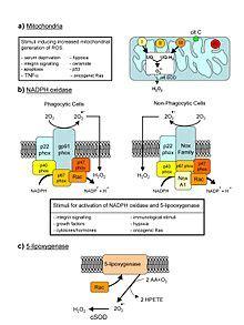reactive oxygen species wikipedia
