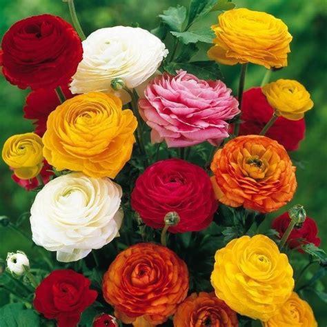 ranuncolo fiore ranuncolo ranunculus asiaticus bulbi coltivare il