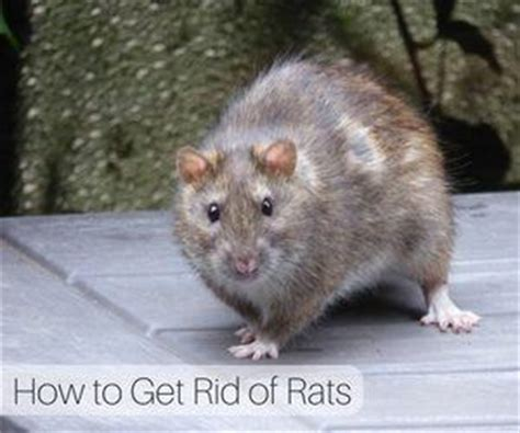 how to get rid of rats critter orlando