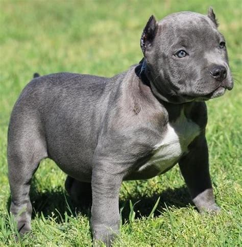 pitbull puppies for free 17 images about i want a amstaff or staffordshire terrier on american pit