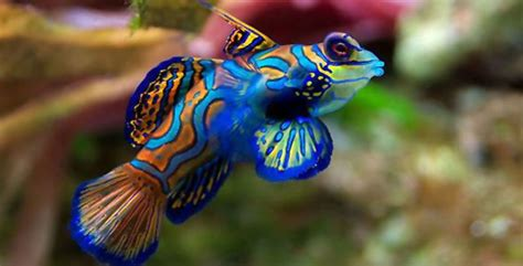 most colorful freshwater fish the 5 most colorful aquarium fish fish breeds