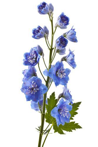 delphinium fiore delphinium haifa