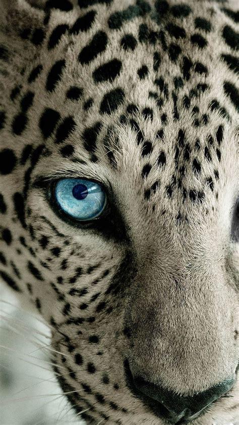 leopard wallpaper pinterest snow leopard blue eye best htc one wallpapershtc